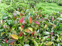 Guest Post: Taiwan Mountain Tea – The Indigenous Plant