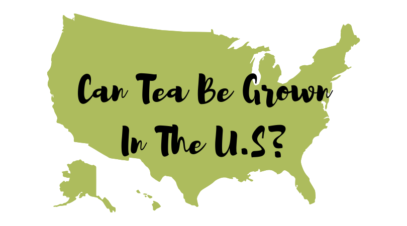 Can Tea Be Grown In the U.S.?