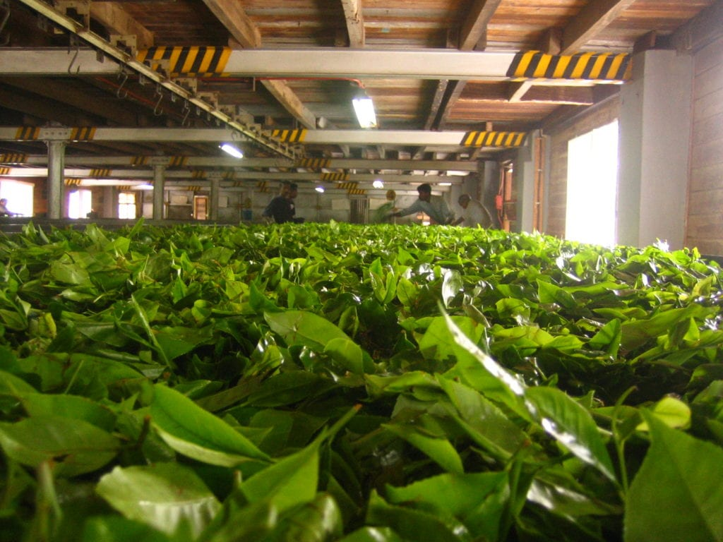 tea leaves withering in a factory