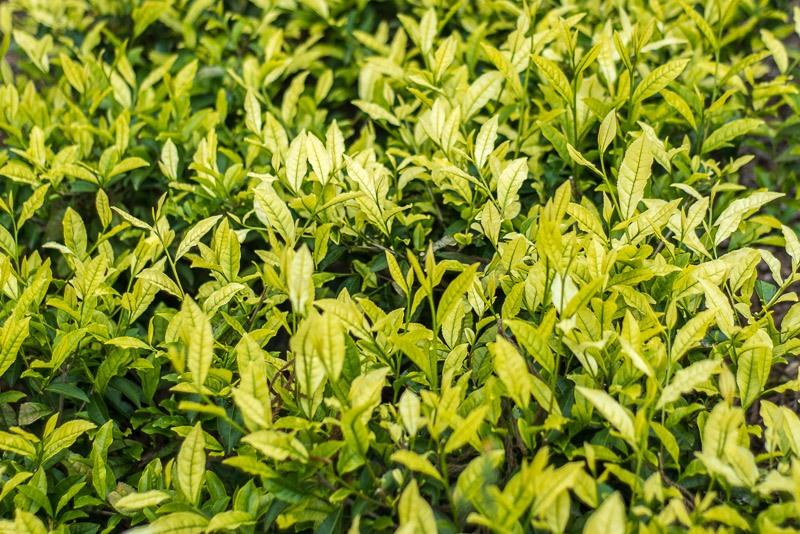 Pale tea leaves