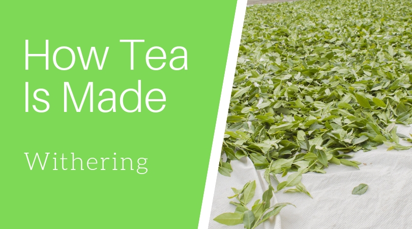 How Tea Is Made: Withering