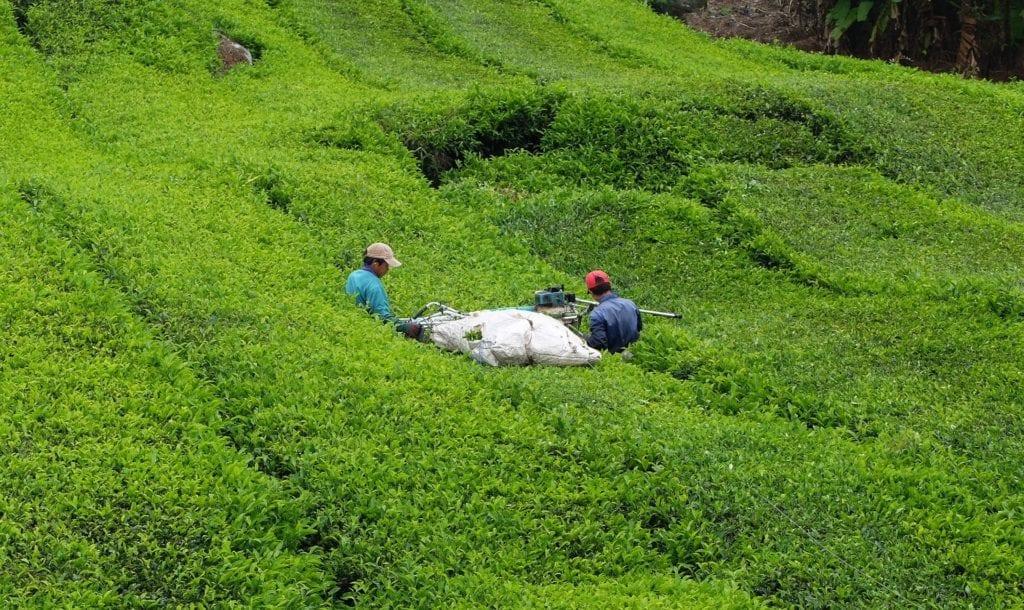 Machine harvesting tea