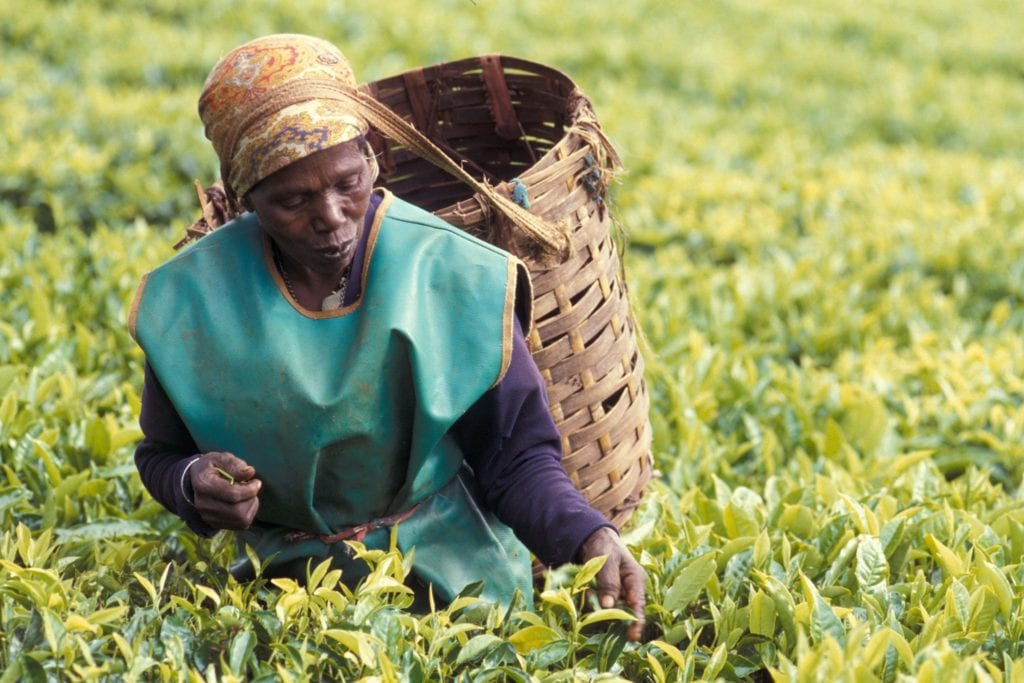 Kenyan tea picker